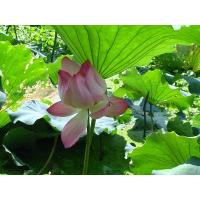 Quality Vitamin Lotus Leaf Extract for sale
