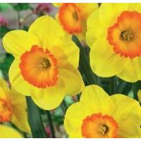 Wholesale Flowers Daffodil, Delibes from china suppliers