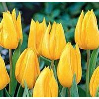 Wholesale Flowers Tulip, Yokohama from china suppliers