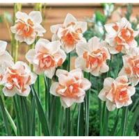 Wholesale Flowers Daffodil, Replete from china suppliers