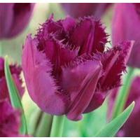 Wholesale Flowers Tulip, Curly Sue from china suppliers