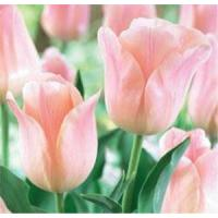 Wholesale Flowers Tulip, Apricot Beauty from china suppliers
