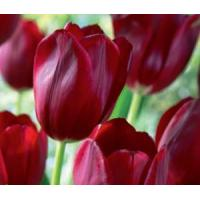 Wholesale Flowers Tulip, National Velvet from china suppliers