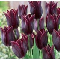 Wholesale Flowers Tulip, Havran from china suppliers